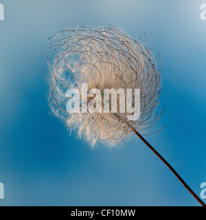 Macro photograph of the seed head of a clematis, often called Old Man's Beard because of the fine silky hairs. - Stock Photo