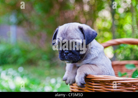 Pug puppy in wicker basket - Stock Photo