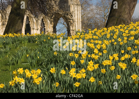 Daffodils in the Museum Gardens with St Mary's Abbey in the background. - Stock Photo