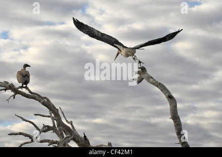 Marabou and vulture at treetop, Africa Savuti, Maun, Moremi, Xakanaxa - Stock Photo