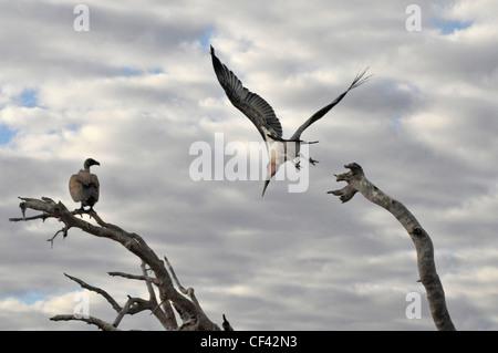 Marabou and vulture in Botswana. Savuti, Maun, Moremi, Xakanaxa - Stock Photo
