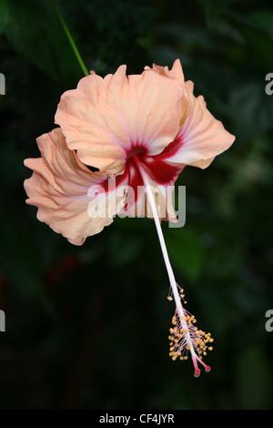 Peach Coloured Hibiscus Flower In Costa Rica - Stock Photo