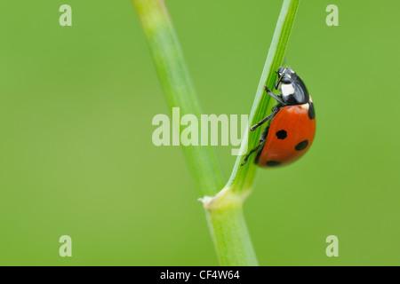 Germany, Bavaria, Franconia, Seven spot lady bird perching on stem, close up - Stock Photo