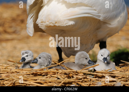 Mute Swan (Cygnus Olor) cygnets on nest with an adult at Abbotsbury Swannery. - Stock Photo