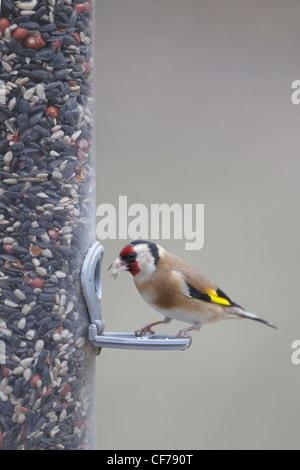 Goldfinch - on bird feeder Carduelis carduelis Hampshire, UK BI022268 - Stock Photo