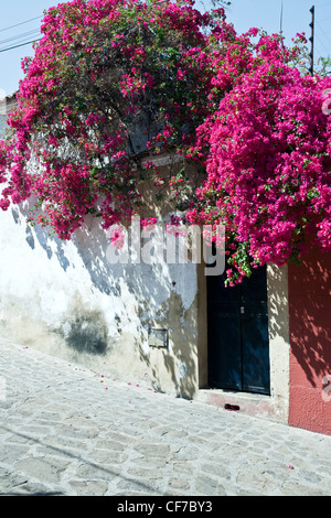 spring blooming scarlet bougainvillea vines tumble over white plaster garden wall & black door on cobble street - Stock Photo