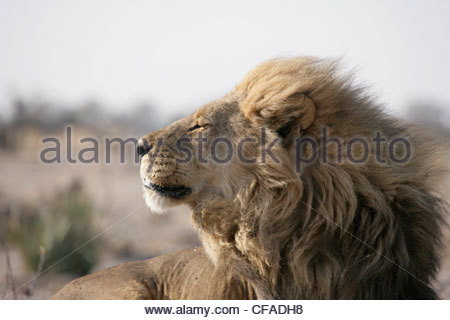 Lion, Panthera leo, adult nomadic male resting early morning with wind in his face - Stock Photo