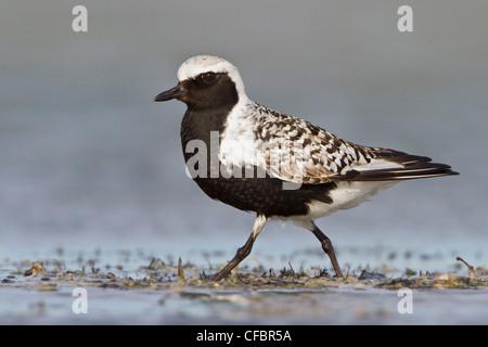 Black-bellied Plover (Pluvialis squatarola) in a mudflat in Alberta, Canada. - Stock Photo