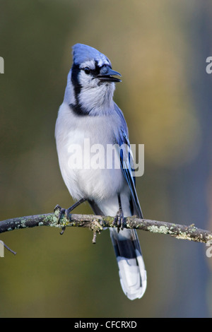 Blue Jay (Cyanocitta cristata ) perched on a branch near Ottawa, Ontario, Canada. - Stock Photo