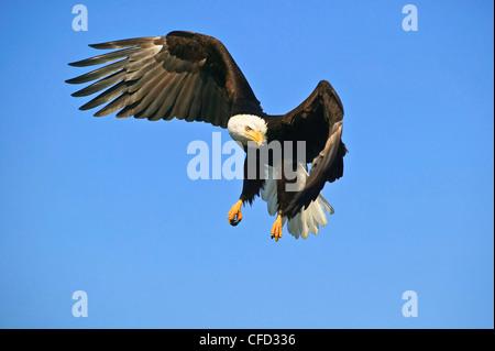 American Bald Eagle (Haliaeetus leucocephalus) in flight, Alaska, United States of America. - Stock Photo