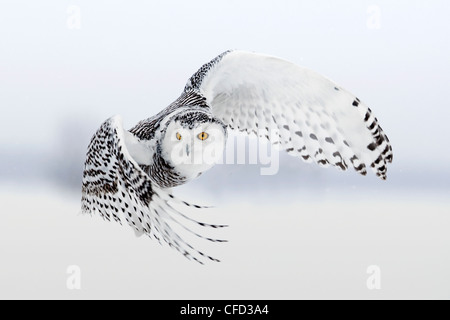 Snowy Owl in flight, Ottawa, Canada - Stock Photo