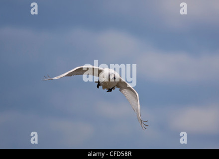 Bewicks Swan juvenile Cygnus columbianus also called Tundra Swan in flight - Stock Photo