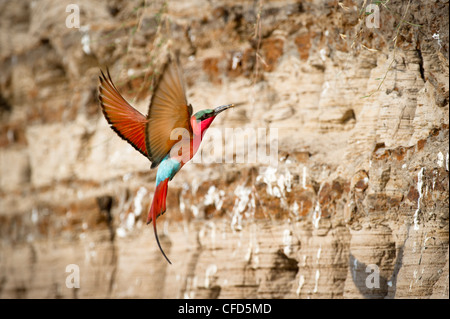 Southern Carmine Bee-eaters returning to nest holes. Banks of the Luangwa River. South Luangwa National Park, Zambia - Stock Photo
