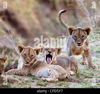 African Lion cubs  - approx 3 months old - near the Luangwa River. South Luangwa National Park, Zambia - Stock Photo
