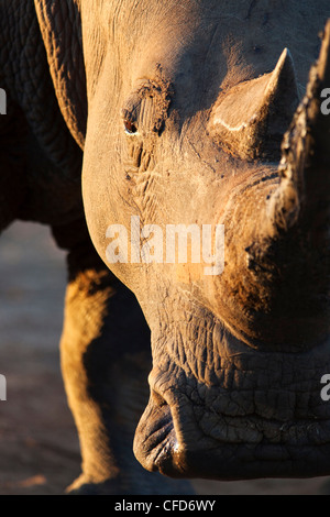 White rhino (Ceratotherium simum), close up with eye, Hlane Royal National Park game reserve, Swaziland, Africa - Stock Photo
