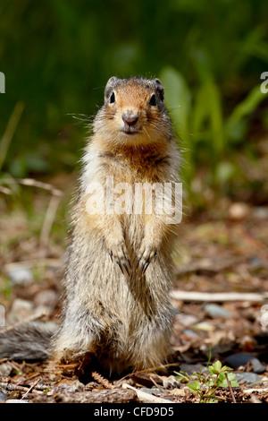 Columbian ground squirrel (Citellus columbianus), Manning Provincial Park, British Columbia, Canada, - Stock Photo