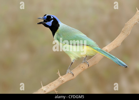 Green Jay (Cyanocorax yncas) - Santa Clara Ranch, Texas, United States of America - Stock Photo