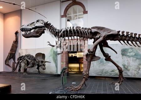 Senckenberg-Museum, view of into the the dinosaur hall, Frankfurt am Main, Hesse, Germany, Europe - Stock Photo