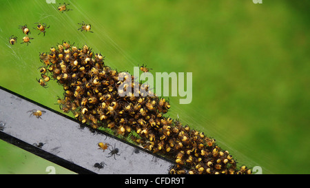 Nest of baby spiders on Vancouver Island, British Columbia, Canada - Stock Photo