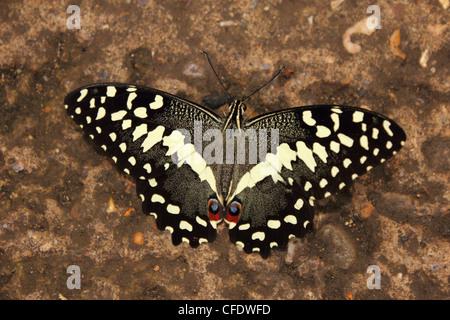 Lime Swallowtail Butterfly (Papilio demoleus) - Stock Photo