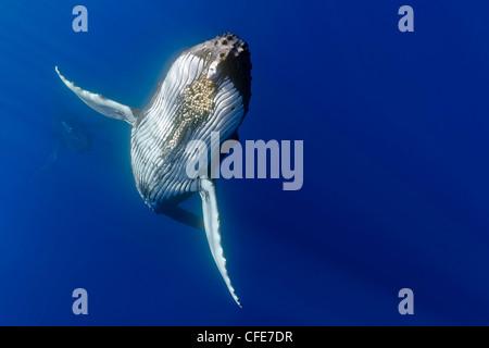 Humpback whale displaying courtship behavior - Stock Photo