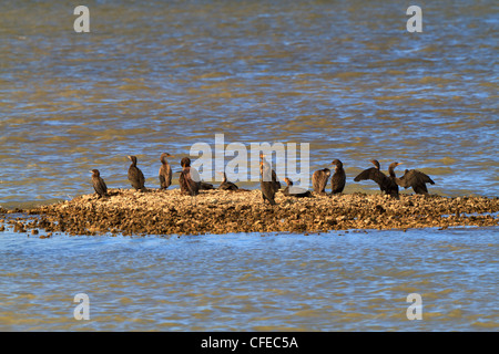 A group of cormorants sitting on a small oyster reef in the Intracoastal Waterway in Texas. - Stock Photo