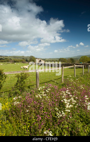 UK, England, Yorkshire, Wensleydale, Castle Bolton, wild flowers growing in verge beside field of sheep - Stock Photo