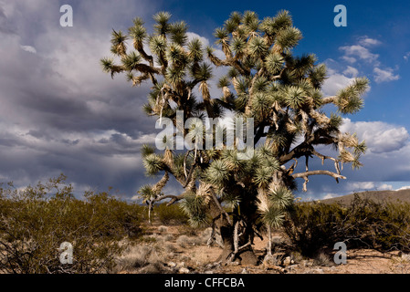 Joshua trees, Yucca brevifolia, growing in the Mojave desert in north-west Arizona; USA - Stock Photo