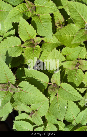 Green, young foliage, leaves of Bee Balm, Monarda didyma - Stock Photo