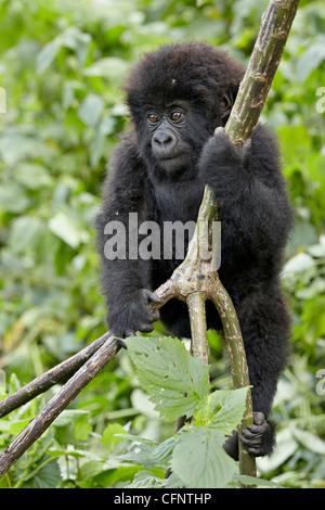 Infant mountain gorilla (Gorilla gorilla beringei), Volcanoes National Park, Rwanda, Africa - Stock Photo