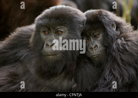Two juvenile mountain gorillas (Gorilla gorilla beringei) of the Umubano group, Volcanoes National Park, Rwanda, - Stock Photo