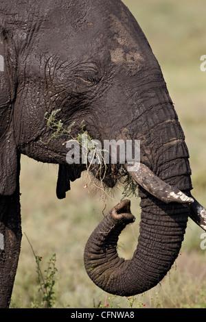 African elephant (Loxodonta africana) eating, Serengeti National Park, Tanzania, East Africa, Africa - Stock Photo