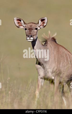 Female greater kudu (Tragelaphus strepsiceros), Mountain Zebra National Park, South Africa, Africa - Stock Photo
