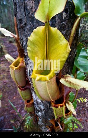 Large aerial pitcher of Pitcher Plant. Montane mossy heath forest (kerangas), Maliau Basin, Sabah's 'Lost World', - Stock Photo