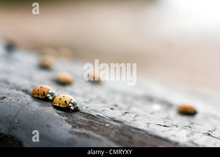 Selective focus of ladybugs on wood - Stock Photo