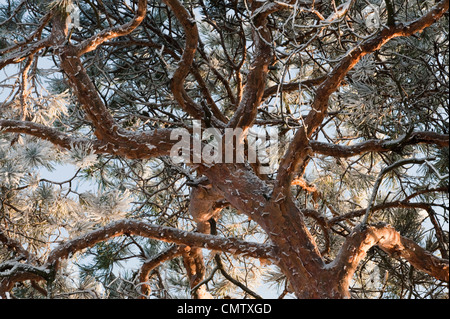 Tree in frost with branches - Stock Photo