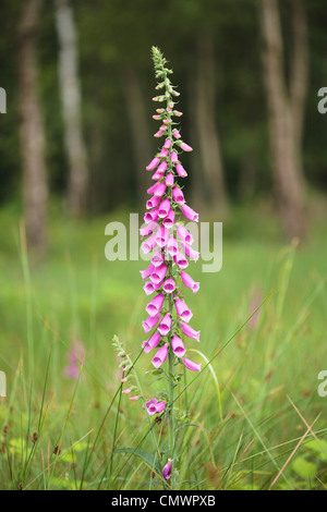 A single purple foxglove digitalis in a woodland setting - Stock Photo