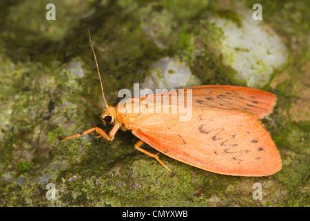 Rosy Footman (Miltochrista miniata) - Stock Photo