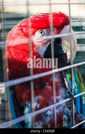 A scarlet macaw parrot's head in a cage. - Stock Photo