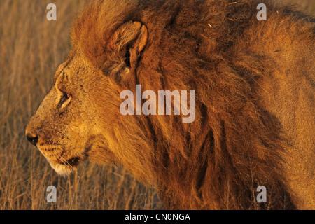 Male Lion in the morning light, Moremi Game Reserve, wildlife, Botsuana, Panthera leo - Stock Photo