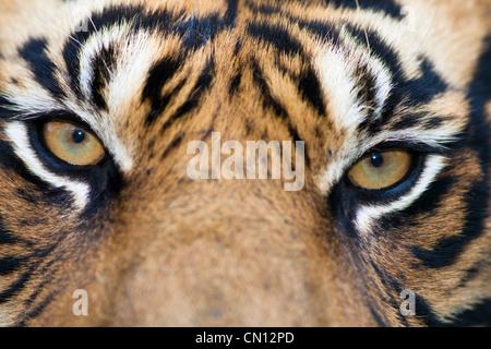 Tiger Bengal - Panthera tigris - close portrait - Stock Photo