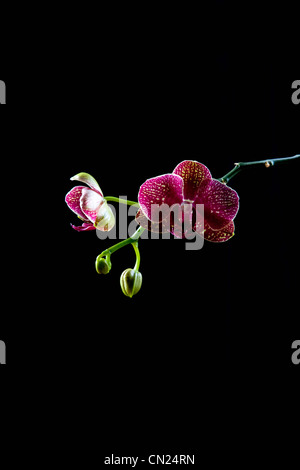 Orchid, still life - Stock Photo