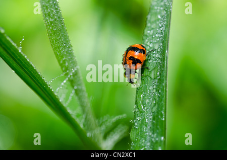 ladybug in the green nature or in the garden - Stock Photo