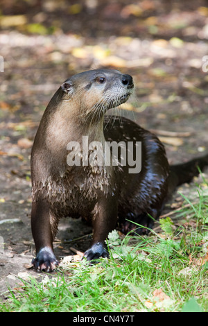 North American River Otter portrait - Lontra canadensis - Stock Photo
