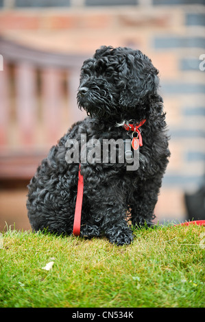 Cute black Cockapoo puppy sitting on grass in front of a bench at a dog training session with a red lead wrapped - Stock Photo
