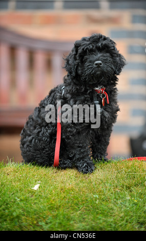 Cute black Cockapoo puppy sitting on grass in front of a bench staring directly at he camera with a red lead wrapped - Stock Photo