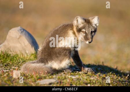 Norway, Svalbard, Edgeoya Island, Arctic Fox (Vulpes lagopus) resting on tundra along Diskobukta - Stock Photo
