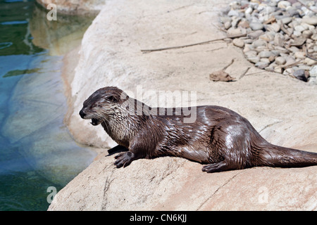 A North American River Otter, Lontra canadensis, also called the Northern River Otter or the Common Otter. - Stock Photo