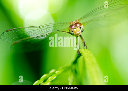 dragonfly in garden or in green nature - Stock Photo