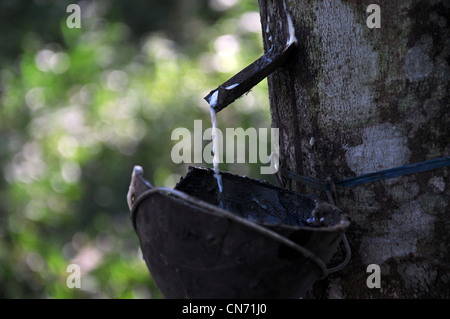 A close up of a rubber tree, source of natural rubber and the milky liquid - latex that oozes from any wound getting - Stock Photo